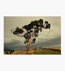 rural gum Photographic Print