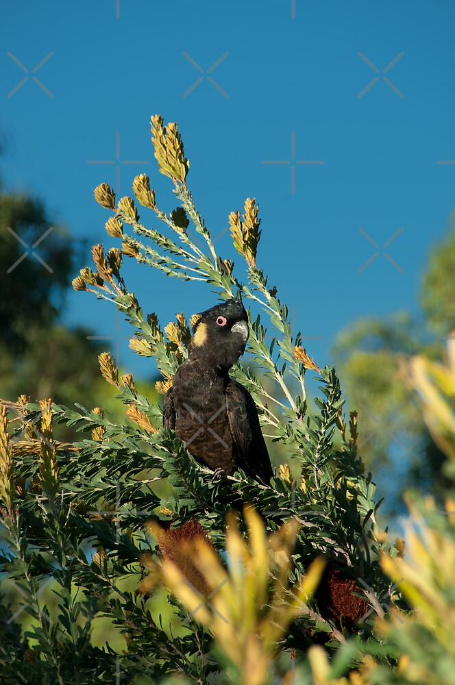 Yellow-tailed Black Cockatoo by SusanAdey