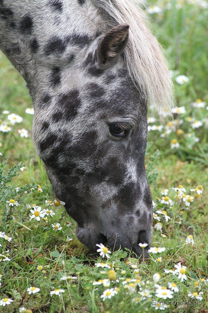 Pony In The Daisies by Samantha Higgs