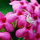 albino spider on pink flowers by lensbaby