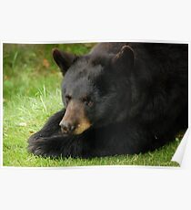 Beary Bored Poster