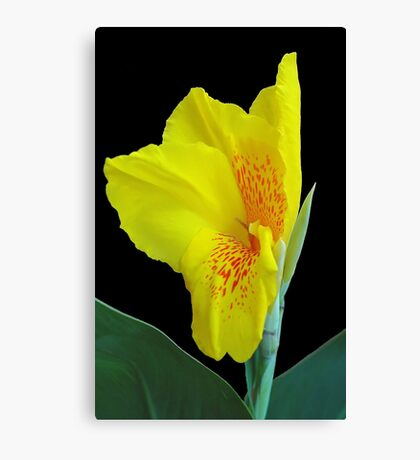 Wild Canna Lily Bloom Canvas Print