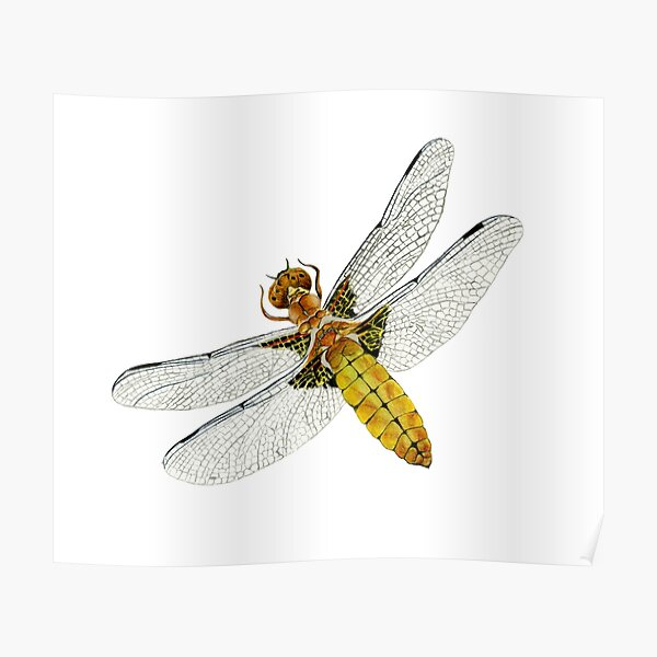 Broad bodied Chaser Dragonfly Insect Watercolor Painting Artwork Poster