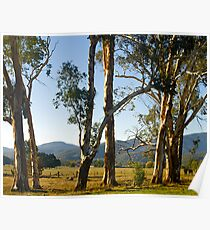 Roadside trees, Buckland Valley, Victoria. Poster