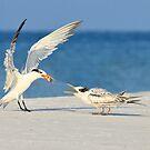 Tern Feeding by Kathy Cline