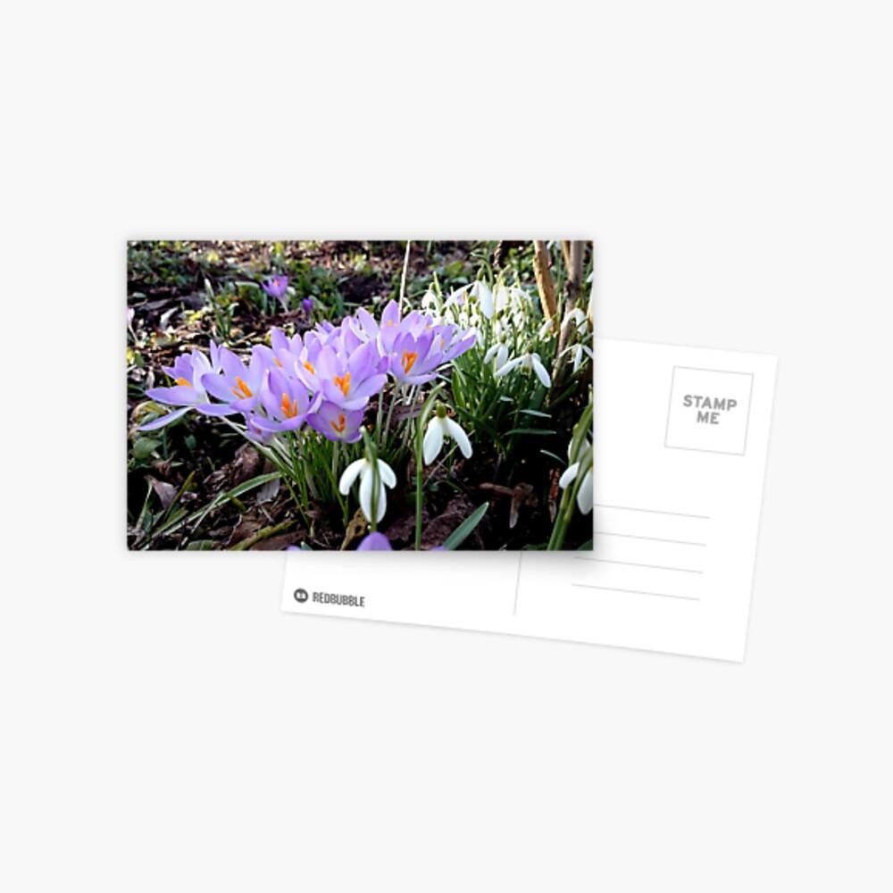 Krokusse mit Schneeglöckchen Postkarte
