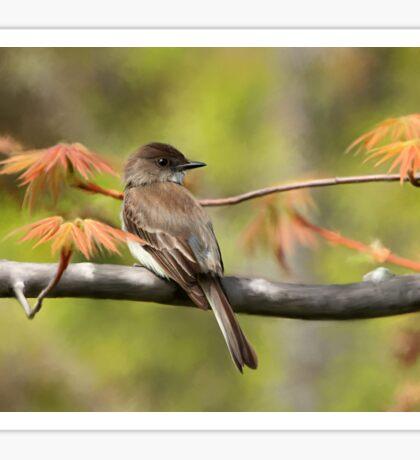 Eastern Phoebe Flycatcher - Photo Painting Sticker