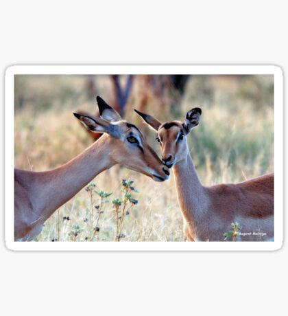JUST A SMALL HUG? - BLACK-FACED IMPALA _Aepyceros melampus petersi Sticker