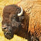 Bison near Browning, Montana, Wildlife Photo by Donna Ridgway