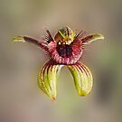 Bee Orchid, Caladenia discoidea by JuliaKHarwood