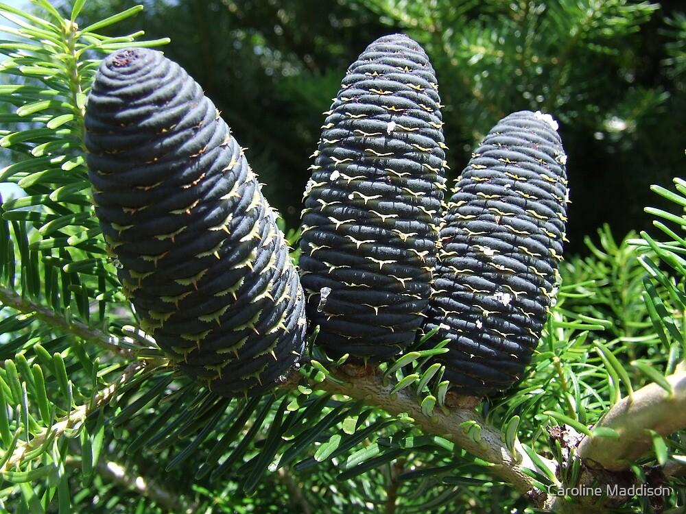 Blue fir tree....korean pine by Caroline Maddison