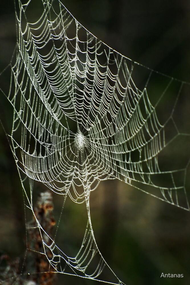 Splendid spider web in autumn morning by Antanas