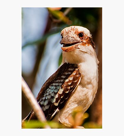 Garden Birds, Laughing Kookaburra Photographic Print