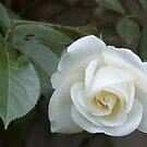 White rose by Ivo Velinov