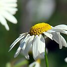 Simple Daisy by PatChristensen