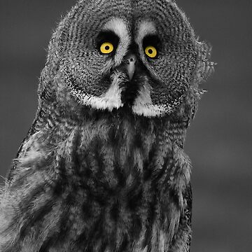 Great Grey Owl by amb1946