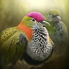 Superb Fruit Dove by polly470