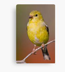 Female Goldfinch on Perch Canvas Print