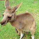 Kangroo by keelinjay