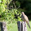 Mourning Dove by Pierre Frigon
