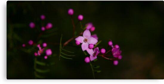 Purple Sydney Boronia by Erland Howden