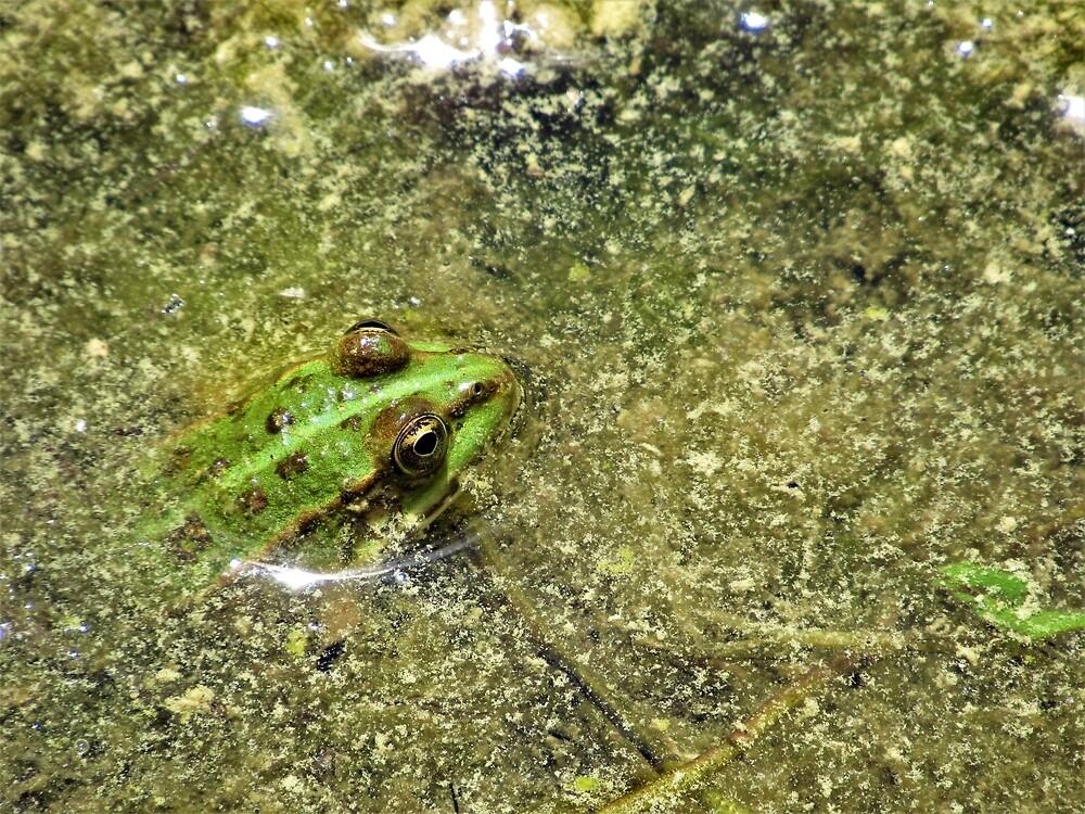 A Patient Pool Frog by tomeoftrovius