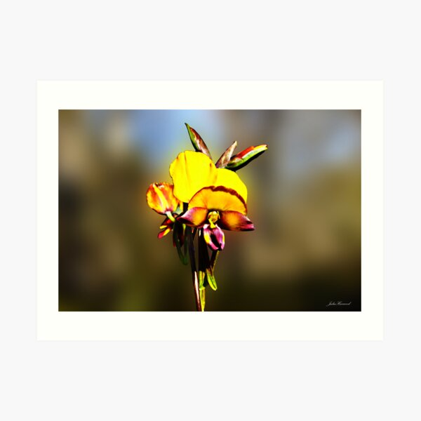 Arrowsmith Pansy Orchid,Diuris aff. magnifica Art Print