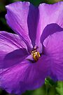 Native Hibiscus by Extraordinary Light