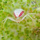 Spider by Daniel  Parent