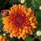 chrysanthemum. by Lee d'Entremont
