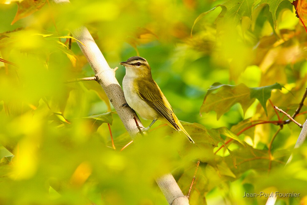 Early Fall Red Eyed Vireo by Jean-Paul Fournier