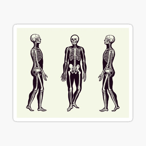Side View Skeleton - Vintage Anatomy Print 2 Sticker