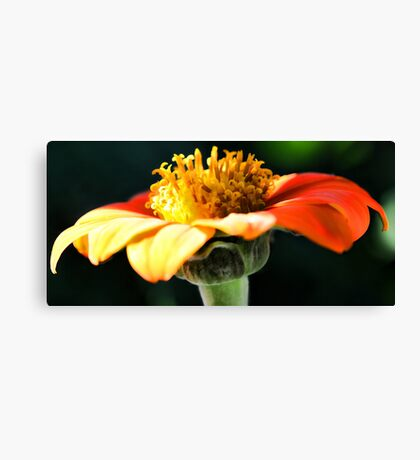 Tithonia (Mexican Sunflower) - Afternoon Light Canvas Print