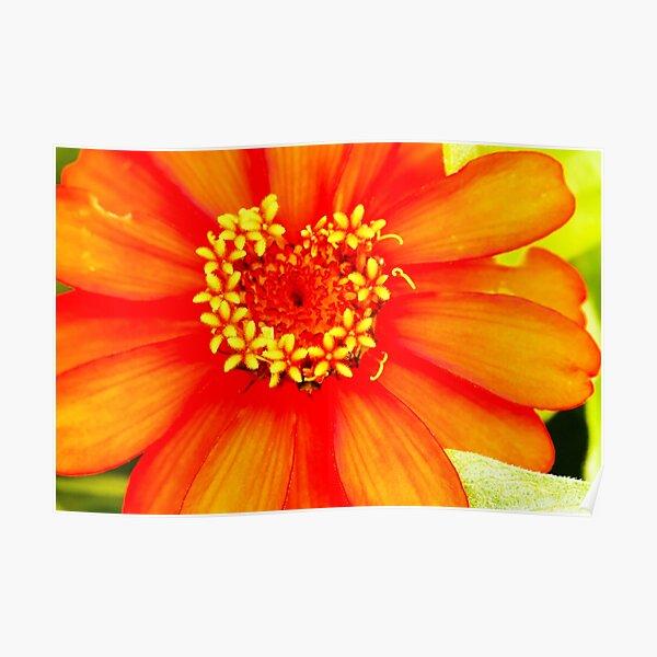 Zinnia Flower Lincoln Gardens,  Poster