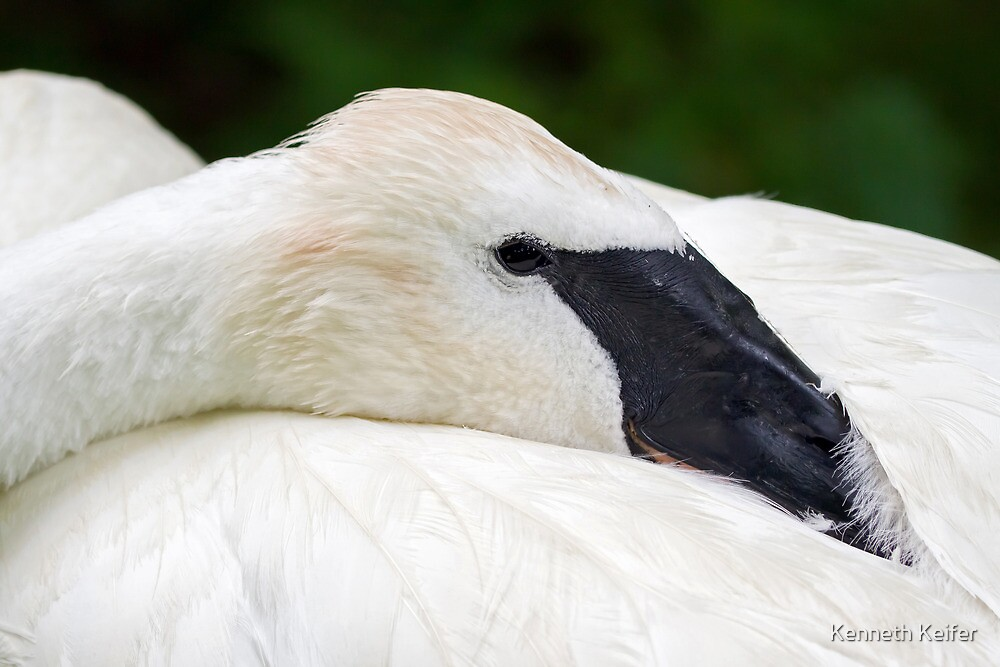 Trumpeter Swan at Rest by Kenneth Keifer