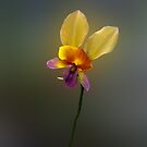 Purple Pansy Orchid, Diuris longifolia by JuliaKHarwood