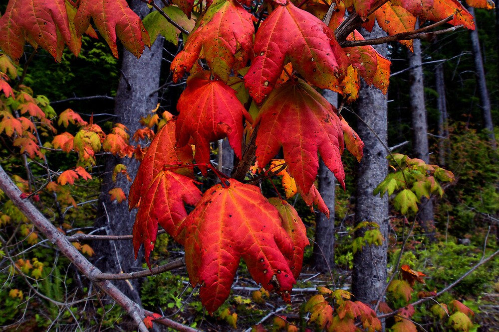 The Party Is Over ~ Vine Maple Leaves ~ by Charles & Patricia   Harkins ~ Picture Oregon