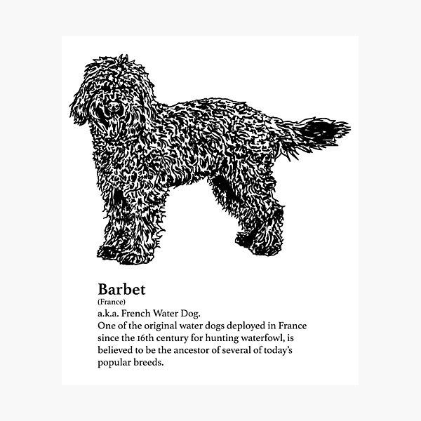 Barbet Photographic Print