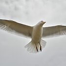 Hovering Herring Gull by dilouise