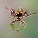 Dancing Spider Orchid, Caladenia discoidea by JuliaKHarwood