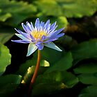 Lilly - San Angelo , Texas by jphall