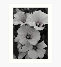White Lavatera with Pink Highlights Art Print