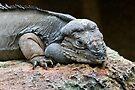 Rhinoceros Iguana by Jason Asher