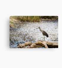 Night Heron, Immature Canvas Print