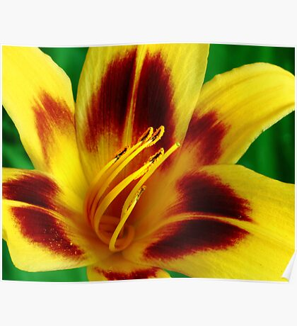 Yellow and Red Daylily Poster
