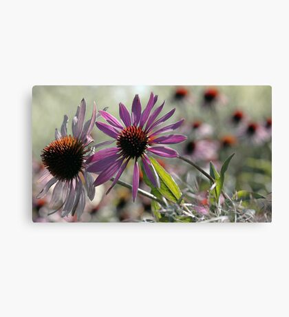 Coneflower - Photo Finish Canvas Print
