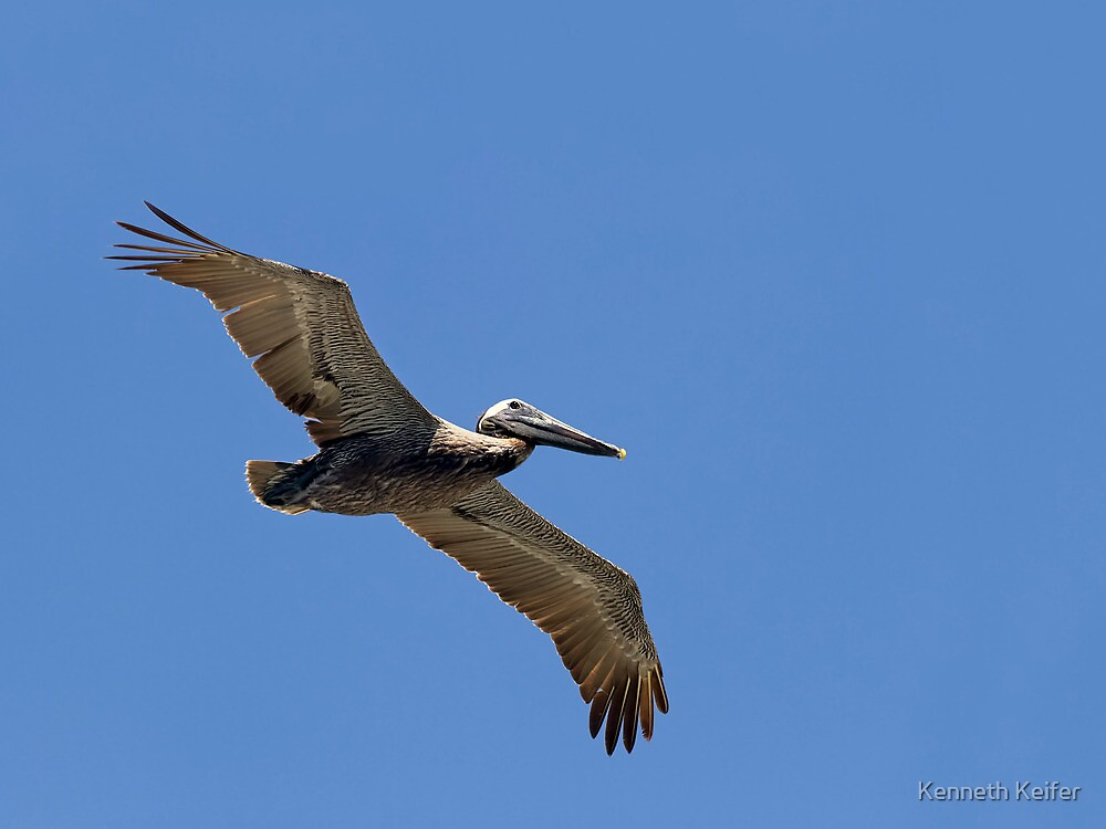 Pelican Soaring Close by Kenneth Keifer