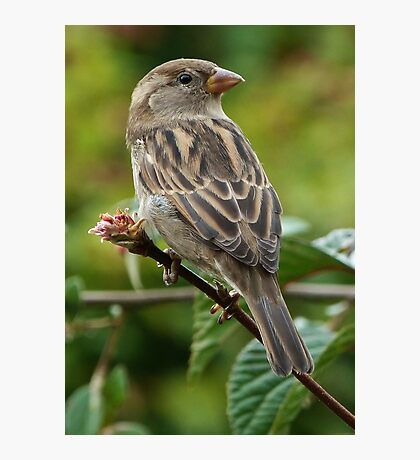 Mrs House Sparrow Photographic Print