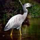 *White Faced Heron* ~ Western Australia by Toni Kane