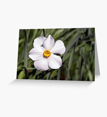 Bicolor Daffodil at the Link Observatory, Indiana Greeting Card